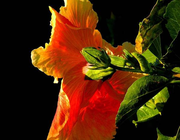 Flowers Art Print featuring the photograph Hibiscus In The Light by Rosalie Scanlon