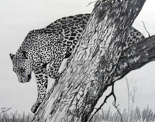 Original Drawing Art Print featuring the drawing Jaquar In Tree by Stan Hamilton