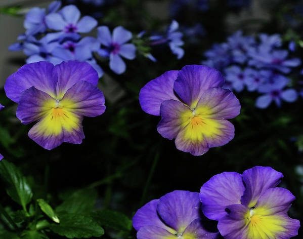 Pansy Art Print featuring the photograph Lavender And Yellow Pansies by Eva Thomas