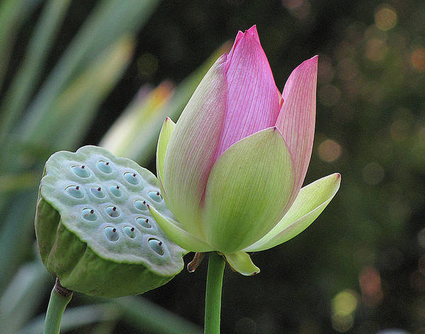Lotus Art Print featuring the photograph Lotus Flower by Helaine Cummins