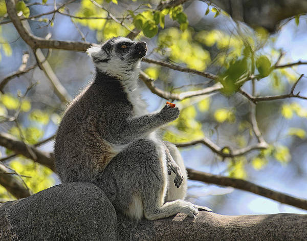 Lemur Art Print featuring the photograph Lunch Break by Keith Lovejoy