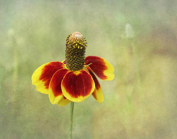 Bloom Art Print featuring the photograph Mexican Hat IIi by David and Carol Kelly