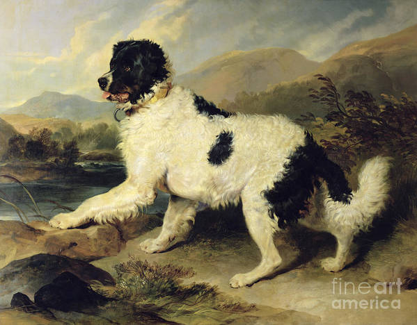 Newfoundland Print featuring the painting Newfoundland Dog Called Lion by Sir Edwin Landseer