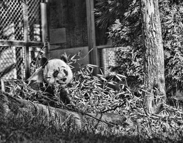 Panda Art Print featuring the photograph Panda Feast by Jody Lovejoy