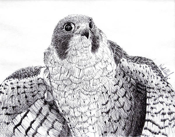 Wildlife Art Print featuring the drawing Peregrine Falcon by Wade Clark