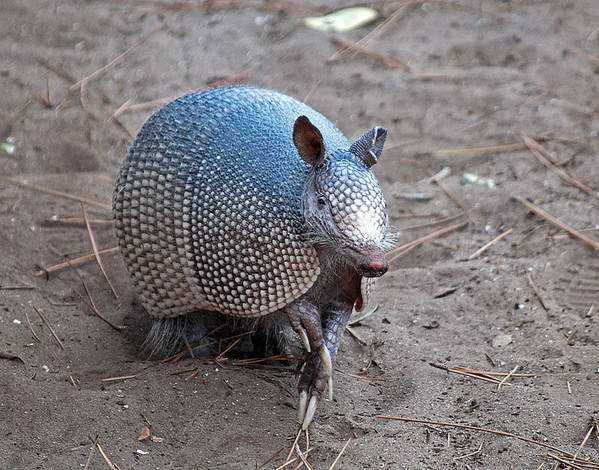 Armadillo Art Print featuring the photograph Posing Armadillo by Kenneth Albin