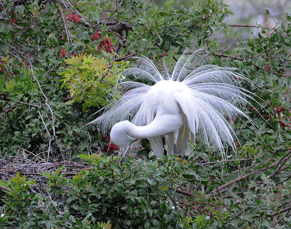 Egret Art Print featuring the photograph Primping by Keith Lovejoy