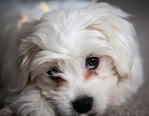 Dog Art Print featuring the photograph Puppy Love by Robert Walton