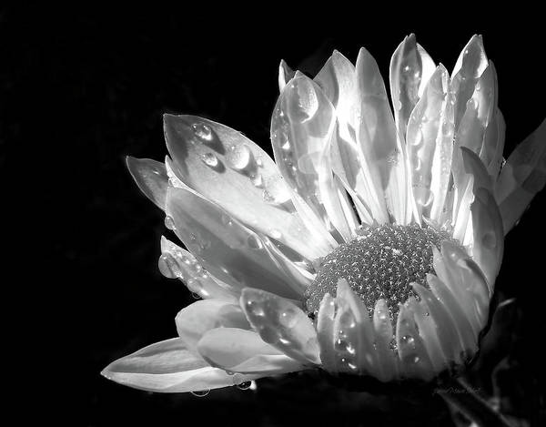 Daisy Art Print featuring the photograph Raindrops On Daisy Black And White by Jennie Marie Schell