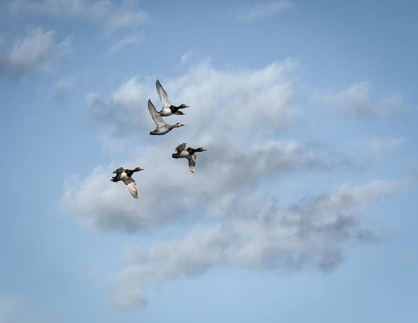 Redheaded Ducks Art Print featuring the photograph Redheaded Ducks Riding The Storm by Thomas Young