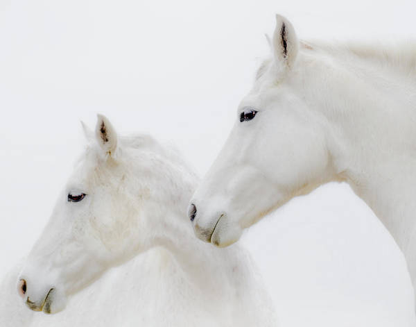 White Horses Art Print featuring the photograph She Dreamed Of White Horses by Ron McGinnis
