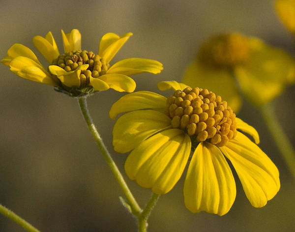 Flower Art Print featuring the photograph Simplicity by Sue Cullumber