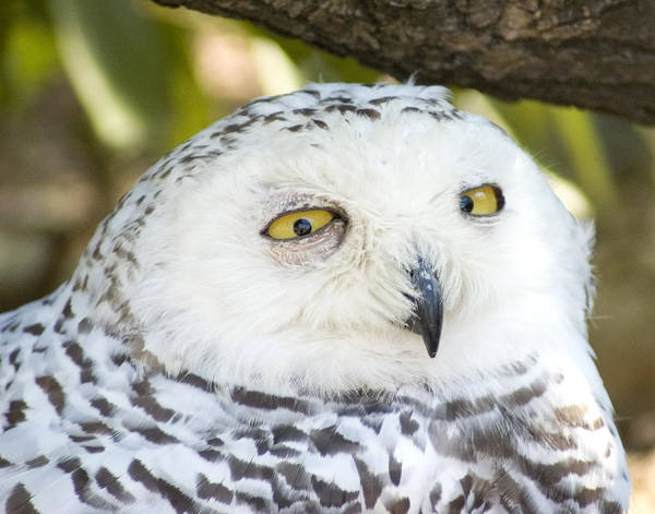 Owl Art Print featuring the photograph Snowy Owl by Jerry Weinstein