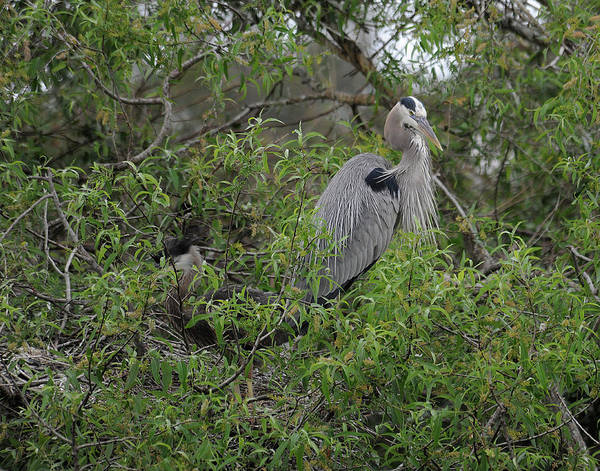 Great Blue Heron Art Print featuring the photograph Teaching Mother by Keith Lovejoy
