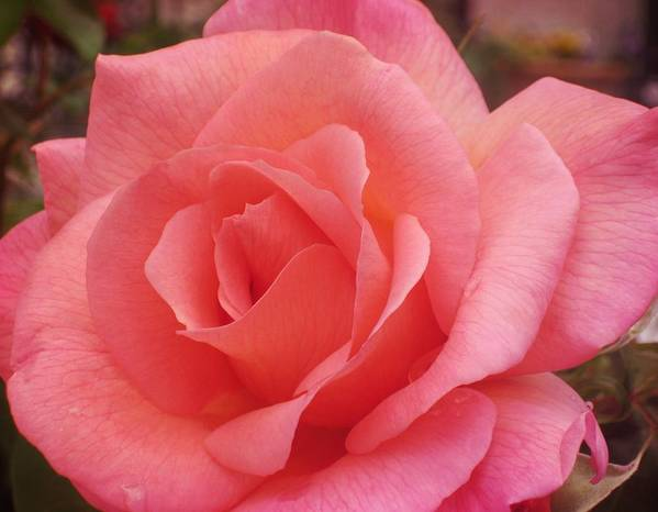 Rose Art Print featuring the photograph Truly Pink by JAMART Photography