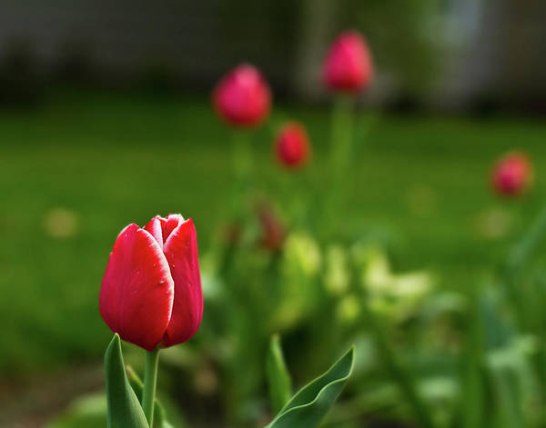 Tulip Art Print featuring the photograph Tulips IIi by Tim Fitzwater