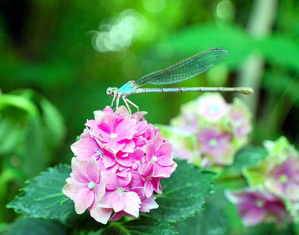 Dragonfly Art Print featuring the photograph Turquiose Dragonfly And Hydrangea by Heather S Huston