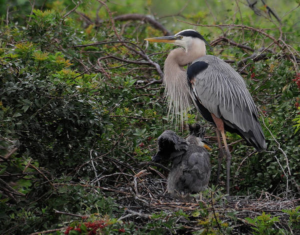 Heron Art Print featuring the photograph Watching Mother by Keith Lovejoy