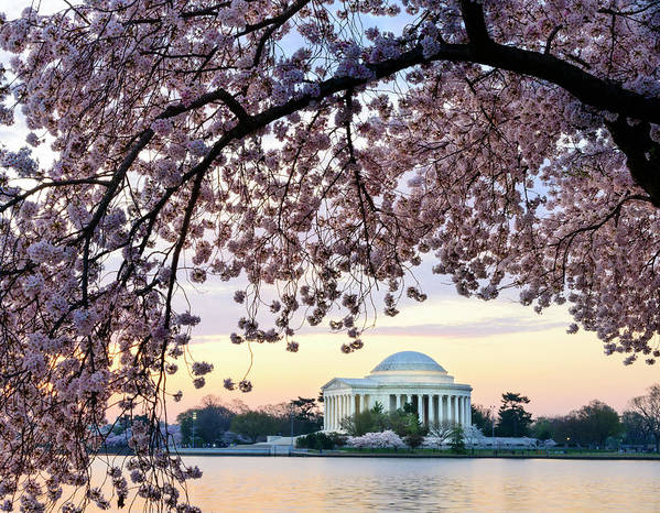 Tidal Basin Art Print featuring the photograph Jefferson Memorial Framed By Cherry by Ogphoto