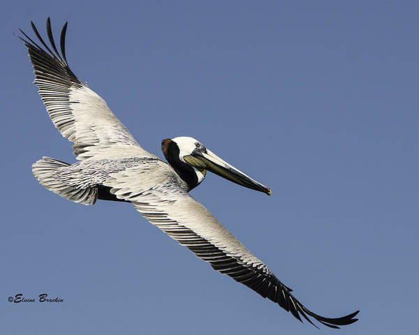 Brown Pelican Art Print featuring the photograph Gone With The Wind by Elaine Brackin