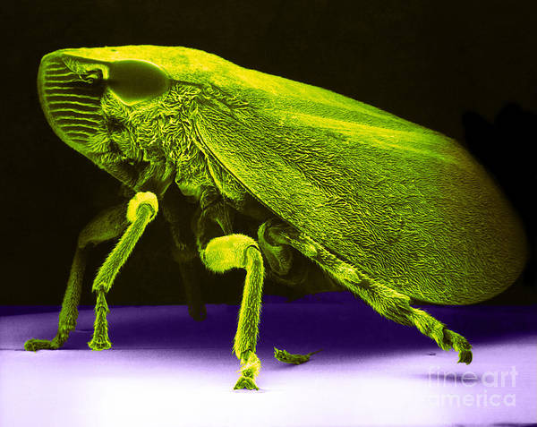 Green And Yellow Sharp-headed Leafhopper Art Print featuring the photograph Leafhopper, Sem by David M. Phillips