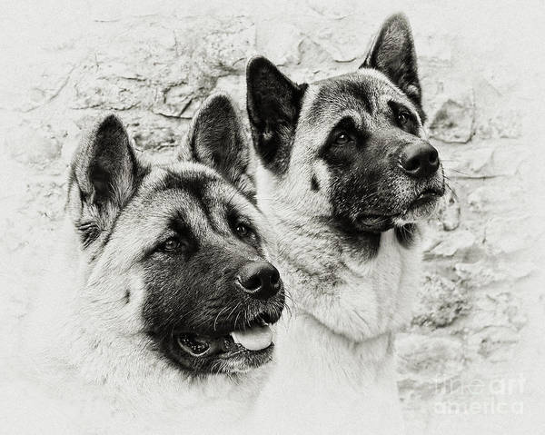 Dog Art Print featuring the photograph Akitas by Susie Peek