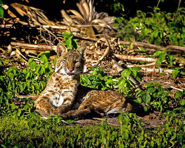 Bobcat Art Print featuring the photograph Bobcat At Sunset by Mark Andrew Thomas