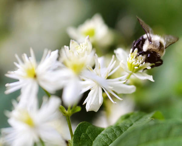 Flower Art Print featuring the photograph Bumble Bee On Clematis by Ginger Wagner