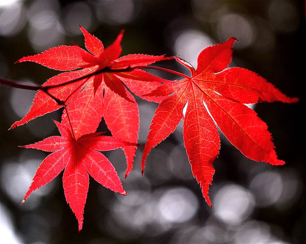 Maple Leaves Print featuring the photograph Dancing Japanese Maple by Rona Black