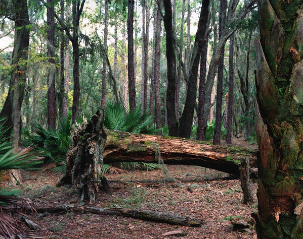 Chris Kusik Art Print featuring the photograph Fallen Oak. Split Oak Forest. by Chris Kusik