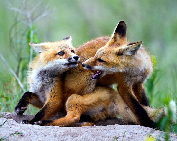 2012 Nbc Weather Calendar Art Print featuring the photograph Fox Kits At Play - An Exercise In Dominance by Merle Ann Loman