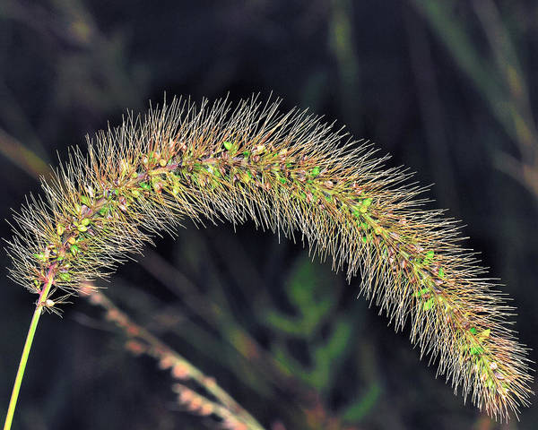 Beauty Art Print featuring the photograph Foxtail Weed by Charles Feagans