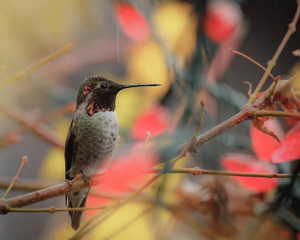 Humming Bird Art Print featuring the photograph Humming Bird Christmas by Steve McKinzie
