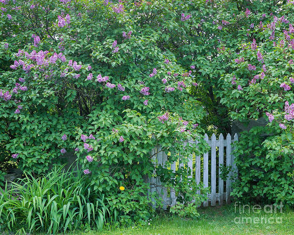 Spring Art Print featuring the photograph Lilac Season by Alan L Graham
