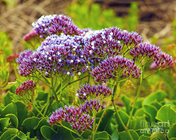 Limonium Art Print featuring the photograph Limonium - Statice by Artist and Photographer Laura Wrede