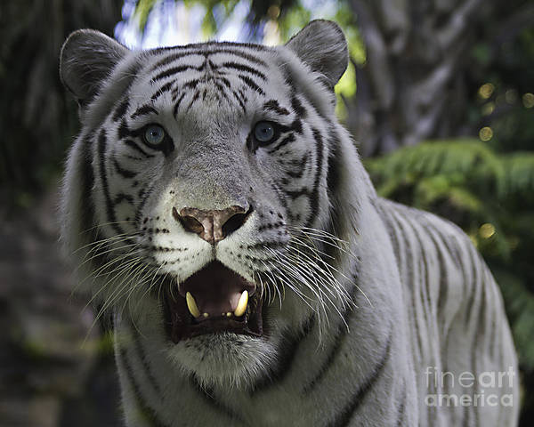 Tigers Art Print featuring the photograph Me by Ken Frischkorn