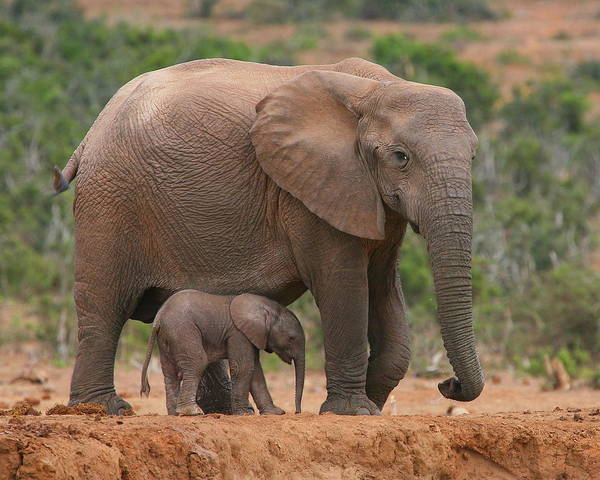 Elephant Art Print featuring the photograph Mother And Calf by Bruce J Robinson