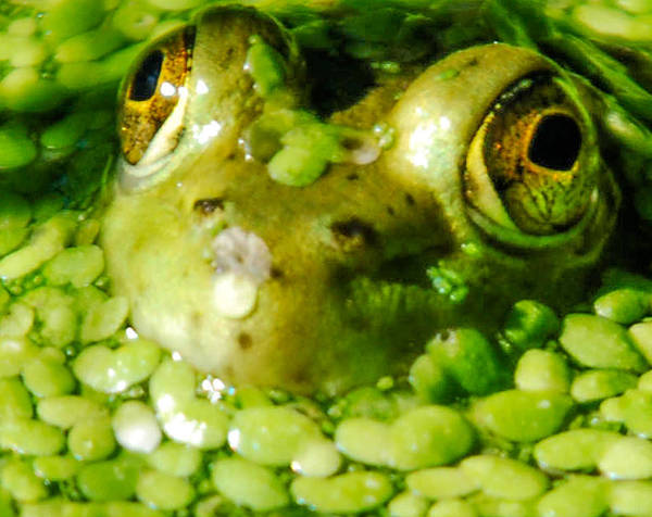 Green Algae Art Print featuring the photograph Peeping Through The Algae by Optical Playground By MP Ray