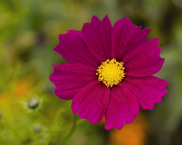 Pink Art Print featuring the photograph Pink Cosmos 3 by Roger Snyder