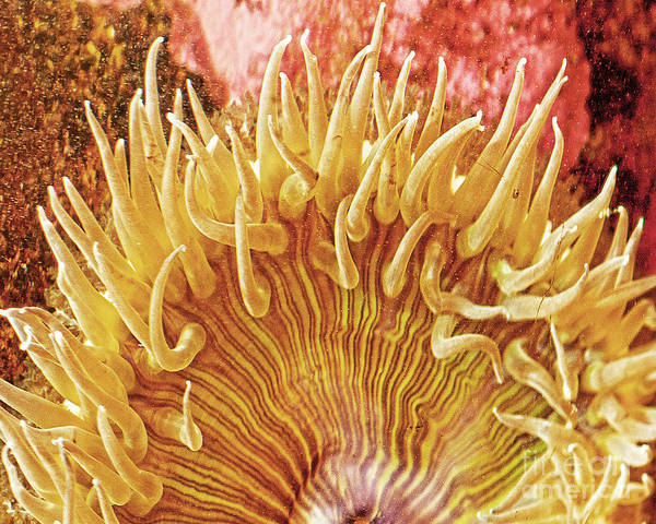 Ocean Art Art Print featuring the photograph Sea Anenome Stretch by Artist and Photographer Laura Wrede