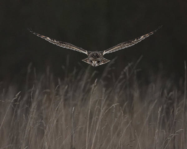 Short Eared Art Print featuring the photograph Short Eared Owl Focused by Paul Scoullar