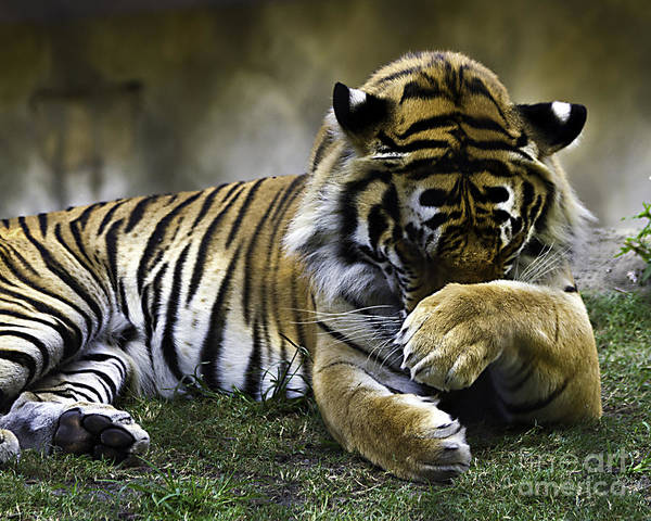 Tigers Art Print featuring the photograph Shy by Ken Frischkorn