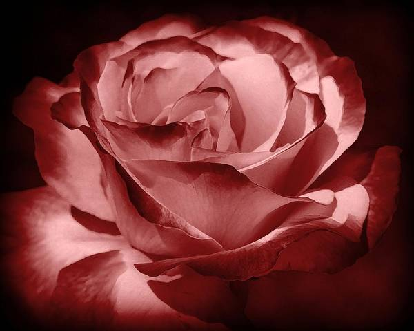 Rose Print featuring the photograph Silk by Athala Carole Bruckner