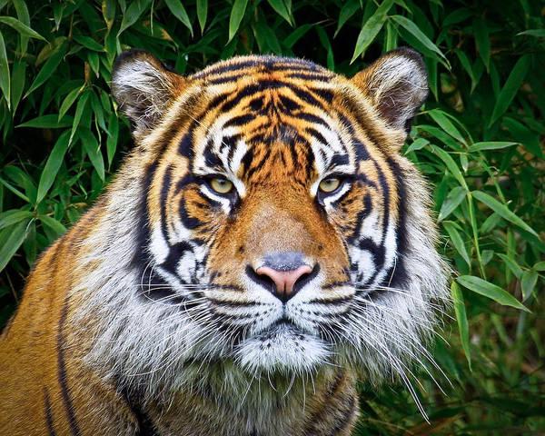Tiger Art Print featuring the photograph Sumatran Tiger by Steve McKinzie