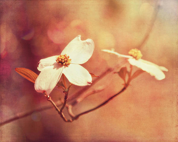 Dogwood Art Print featuring the photograph Sunlit Dogwood by Ginger Wagner