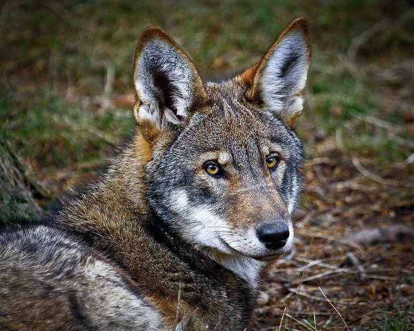 Red Wolf Art Print featuring the photograph The Red Wolf by Steve McKinzie