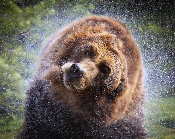 Griz Art Print featuring the photograph Wet Griz by Steve McKinzie