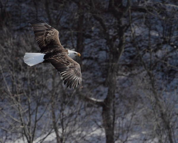 Bald Eagle Art Print featuring the photograph Winter Eagle Flight by Coby Cooper