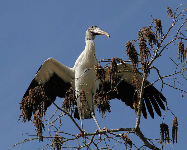 Wood Stork Art Print featuring the photograph Wood Stork Preparing To Fly by Doris Potter