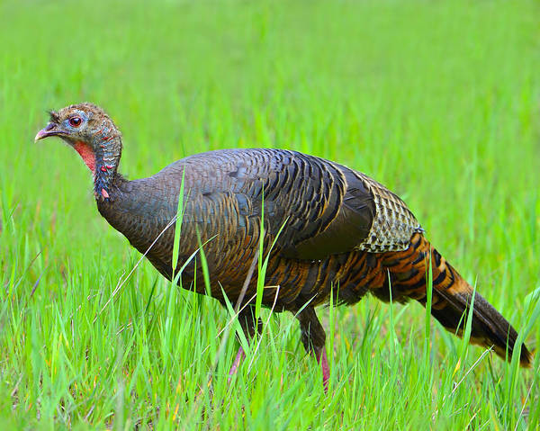 Wild Turkey Art Print featuring the photograph Young And Wild by Tony Beck